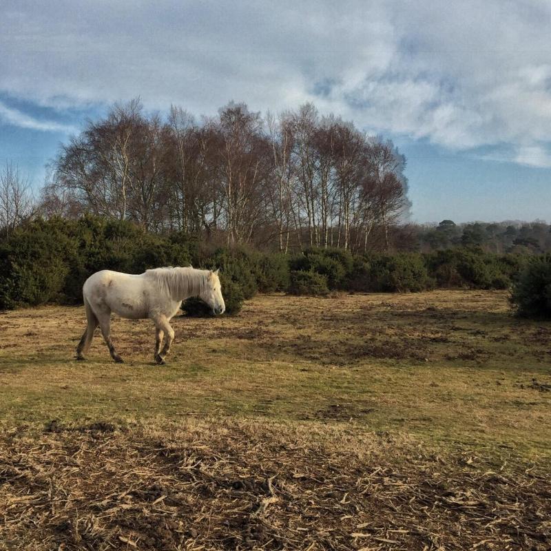 New Forest Pony, Splodz Blogz