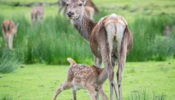 Splodz Blogz | NC500 | Suckling Red Deer