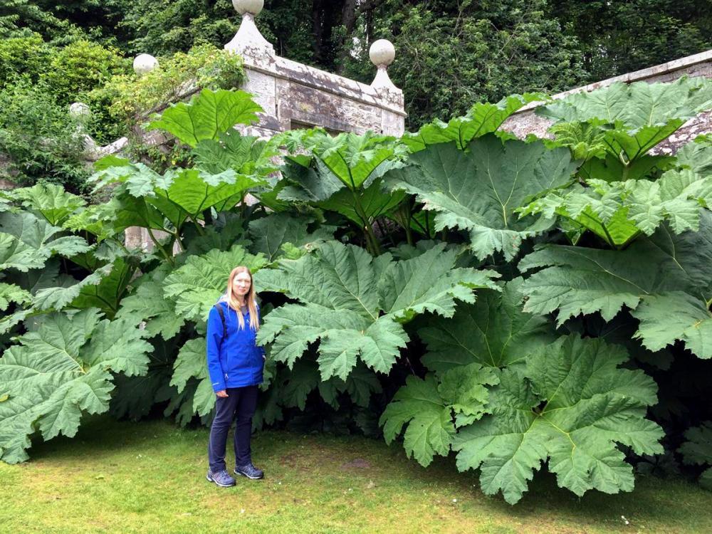 Splodz Blogz   NC500 Giant Rhubarb at Dunrobin Castle