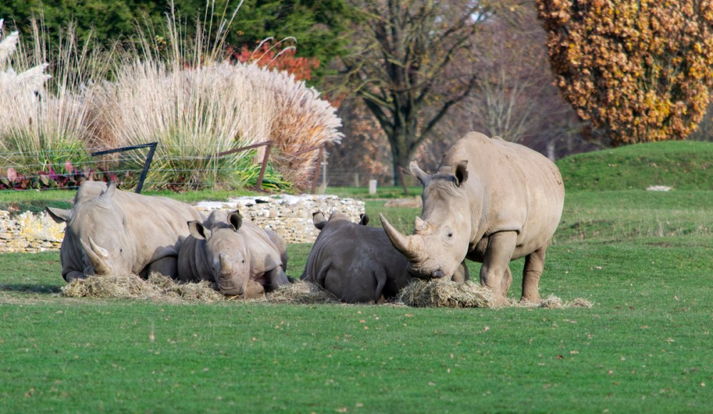 Splodz Blogz | White Rhino at Cotswold Wildlife Park