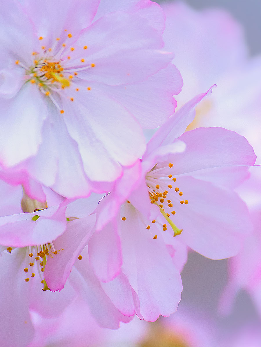 Cherry Blossom Wallpapers