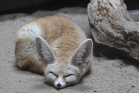 fenek-zoo-wroclaw