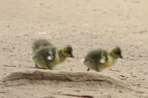 goslings pinkfootes goose