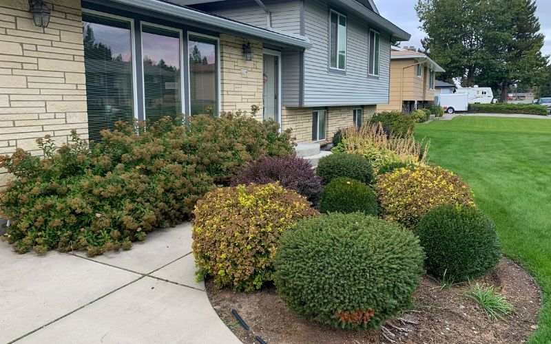 Several overgrown shrubs in a landscape bed before being pruned.