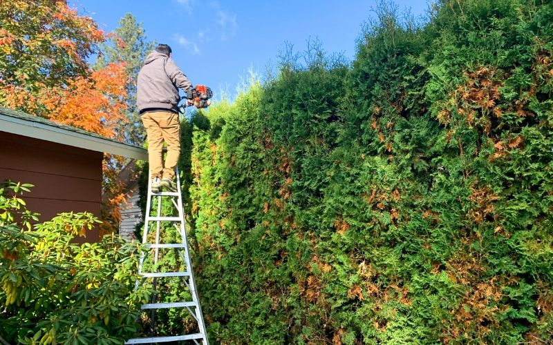 A Spokane's Finest Lawns employee on a ladder using electric trimmers to prune a very tall hedge.