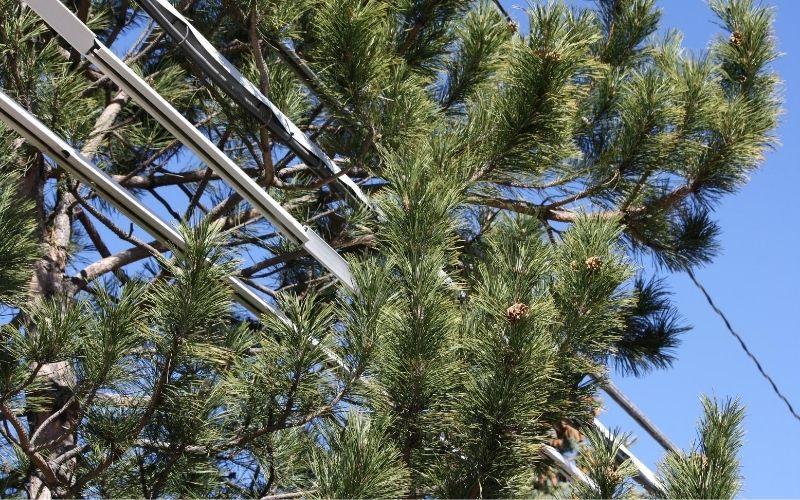 Tree Growing in Power Lines
