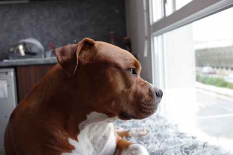 american pit bull terrier puppy on window pane close up photo
