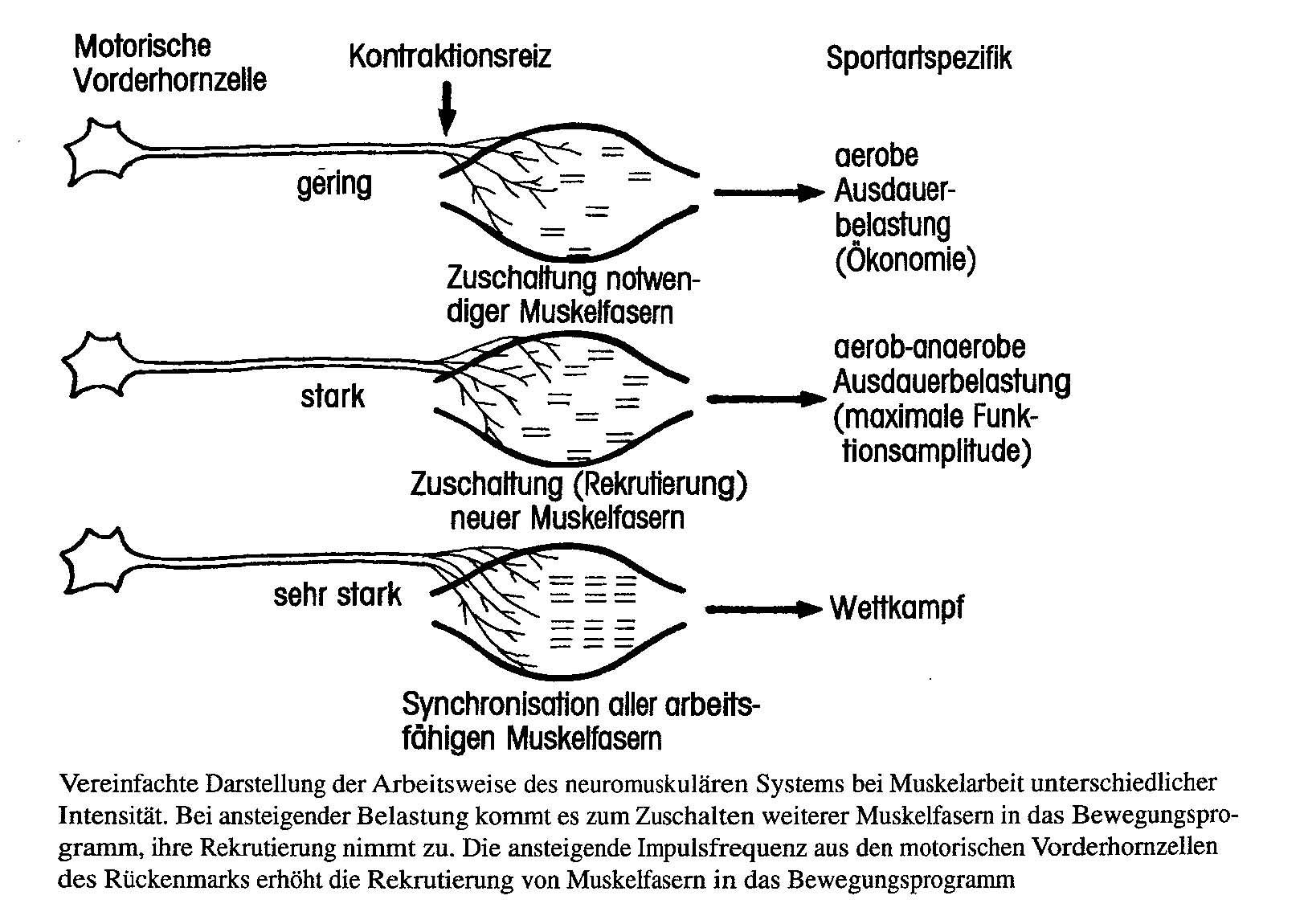 System neuromuskuläres - Sport A-Z