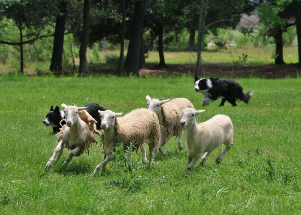 SEWE Adds Sheep Herding Dogs to Mix of Demonstrations - Sponsored ...