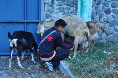 Milking Goats 2