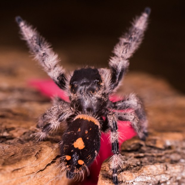 Black and white and orange Female Jumping Spider known as Phidippus genus is holding front hairy legs and sniffing the air