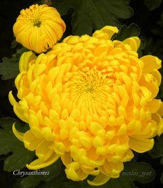 yellow cmum