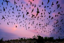 bat sunset