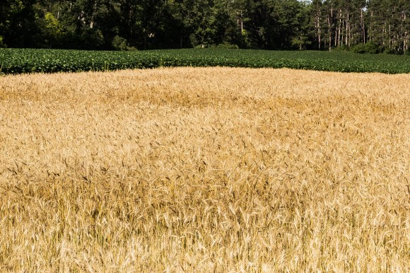 Wheat Foeld