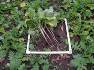 Tillage Radish Cover Crop