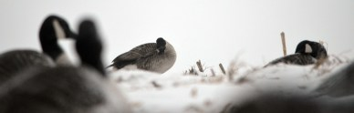 121812 - goose in dekes2