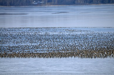 Lac qui Parle honkers!