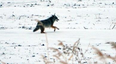 1413 - Coyote