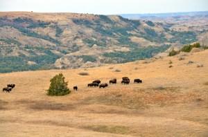 21213 - bison