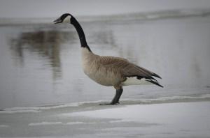 41313 - goose