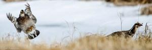 42513 - prairie chickens landing