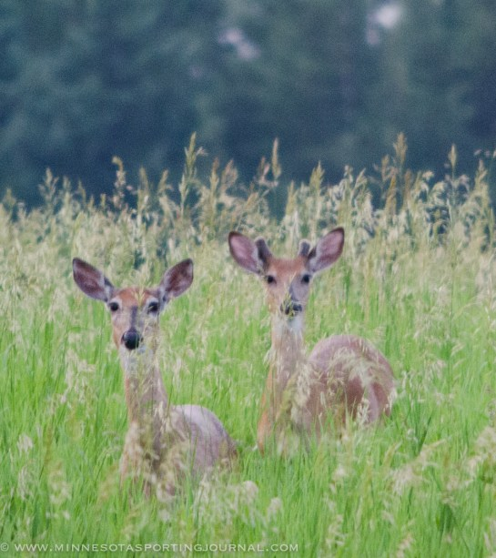 7113 - doe and small buck