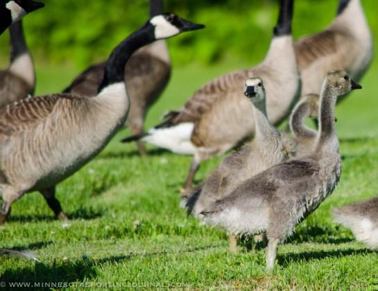 7313 - goslings2