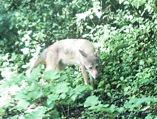 72913 - trail cam coyote