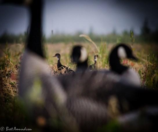 81413 - wood ducks in spread