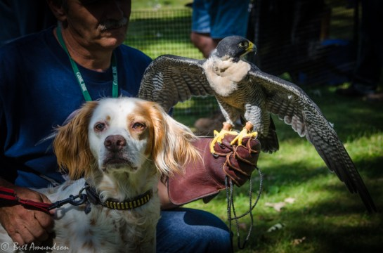 81613 - peregrine falcon and dog partners