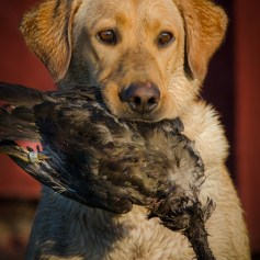 Mika with a banded wood duck.