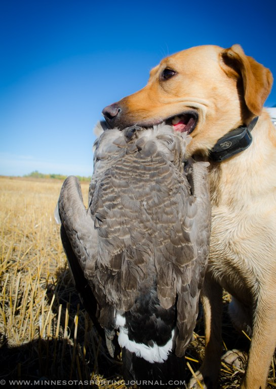 92913 - goose fest geese-4