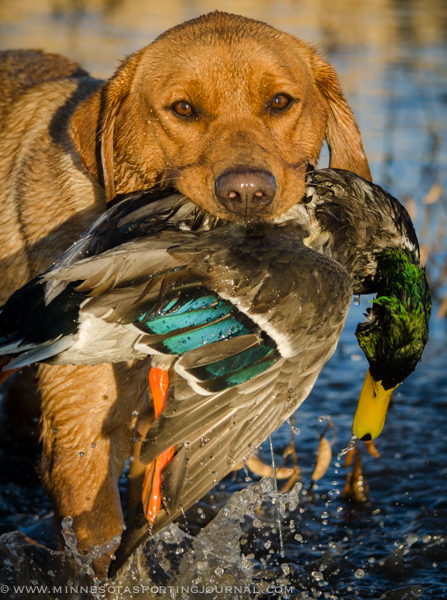Paul Steffen's Berkley retrieves a South Dakota mallard.