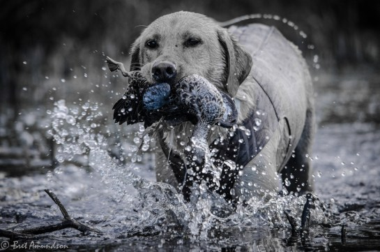 10513 - mika blue wing teal retrieves-7