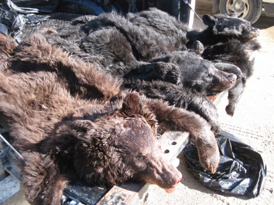 2013 Baudette bear - deer case 1