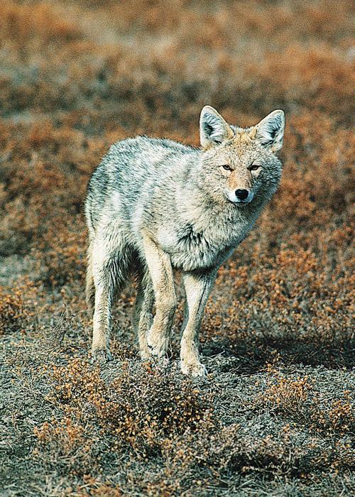 coyote 5x7