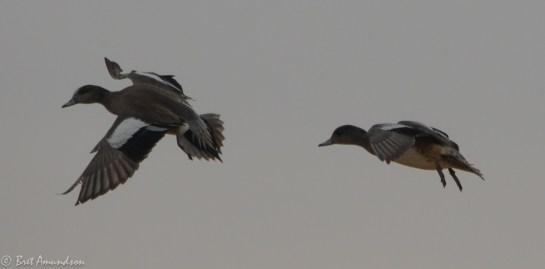 31814 - snow goose sd day 3 pintails wigeon canada mallard-43