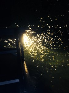 Bugs swarm the lights used to see fish in the water