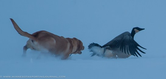 111514-goose hunt dogs-3