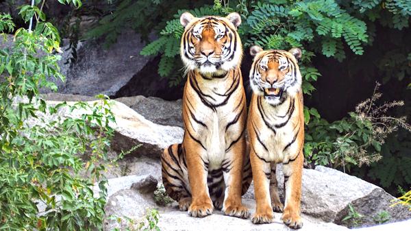 These two tigers Neko Ashi Dachi