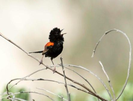 _RKW9185 Red-backed Fairy Wren