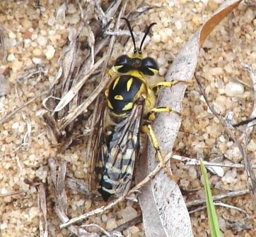 Yellow Sand Wasp