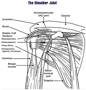 Shoulder joint. By the National Institute of Arthritis and Musculoskeletal and Skin Diseases.