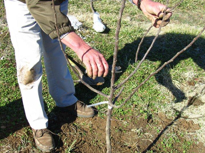 Plantarea pomilor fructiferi primăvara
