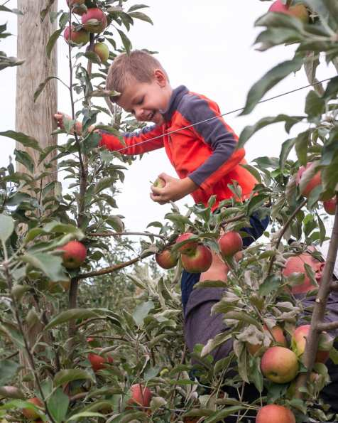 apples web-6288