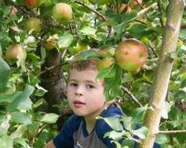 apples web-6465