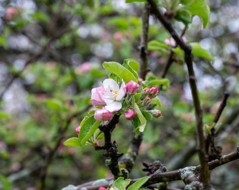 shaker apples web-6891