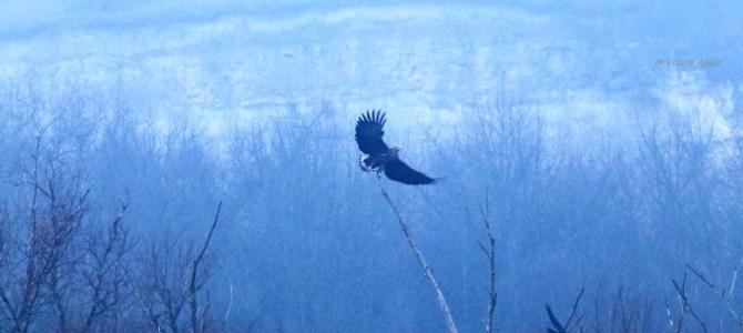 Monitorizarea efectivelor de iarnă ale păsărilor răpitoare