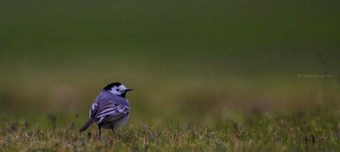 Monitorizarea Păsărilor Comune