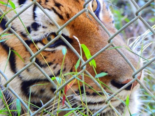 Aria_Tiger